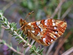 Cranberry Fritillary (Boloria aquilonaris) photo