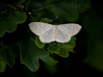 Cream Wave (Scopula floslactata) photo