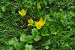 Creeping Jenny (Lysimachia nummularia) photo