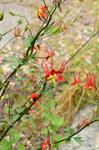 Crimson Columbine (Aquilegia formosa) photo