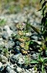Cut-Leaved Germander (Teucrium botrys) photo