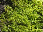 Cypress-leaved Plait-moss (Hypnum cupressiforme) photo