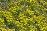 Cypress Spurge (Euphorbia cyparissias) photo