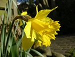 Daffodil - Wild Daffodil (Narcissus pseudonarcissus) photo