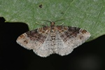 Dark-barred Twin-spot Carpet (Xanthorhoe ferrugata) photo