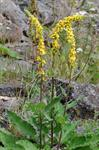Dark Mullein (Verbascum nigrum) photo