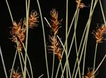 Davall´S Sedge (Carex davalliana) photo