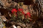 Desert paintbrush (Castilleja chromosa) photo