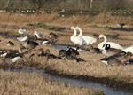 Branta leucopsis x canadensis photo