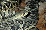 Diamondback rattlesnake (Crotalus adamanteus) photo