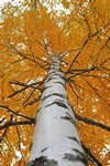 Downy Birch (Betula pubescens ssp. pubescens) photo