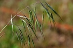 Drooping Brome (Anisantha tectorum) photo
