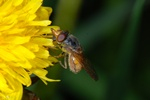 Duck billed Hoverfly (Rhingia campestris) photo