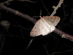 Early Moth (Theria primaria) photo