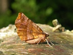 Early Thorn (Selenia dentaria) photo