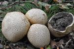 Earth Ball (Scleroderma citrinum) photo