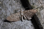 Edinburgh Pug (Eupithecia intricata) photo