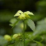 Ehrend. Polatschek Yellow Archangel - (Lamiastrum galeobdolon) photo