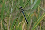 Emperor Dragonfly (Anax imperator) photo