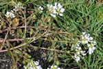 English Scurvygrass (Cochlearia officinalis ssp. anglica) photo