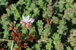 English Stonecrop (Sedum anglicum) photo