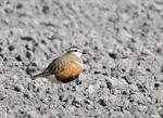 Eurasian Dotterel (Charadrius morinellus) photo