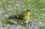 Eurasian Siskin (Carduelis spinus) photo