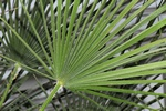 European fan palm, Mediterranean dwarf palm (Chamaerops humilis) photo
