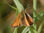 European Skipper (Thymelicus lineola) photo