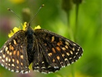 False-heath Fritillary (Melitaea diamina) photo