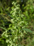 Fat-Hen (Chenopodium album) photo