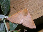 Feathered Thorn (Colotois pennaria) photo
