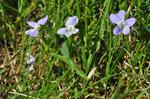 Fen Violet (Viola persicifolia) photo