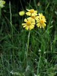 Field Fleawort (Tephroseris integrifolia) photo