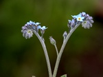 Field Forget-me-not (Myosotis arvensis) photo
