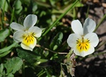 Field Pansy (Viola arvensis) photo