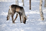 Finnish forest reindeer (Rangifer tarandus fennicus) photo