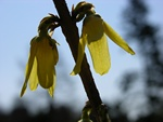 Forsythia europaea photo