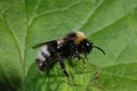 Four-coloured Cuckoo-bee (Bombus sylvestris) photo