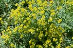 Fringed Rue (Ruta chalepensis) photo