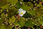 Frogbit (Hydrocharis morsus-ranae) photo