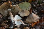 Frosty Fibrecap (Inocybe maculata) photo