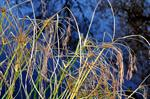 Galingale / Sweet Galingale (Cyperus longus) photo