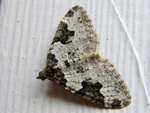 Garden Carpet (Xanthorhoe fluctuata) photo