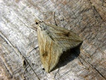 Garden Pebble Moth (Evergestis forficalis) photo