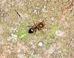 Crematogaster scutellaris photo