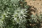 Eryngium bourgatii photo