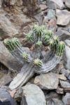 Euphorbia echinus photo