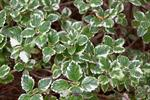 Plectranthus forsteri photo