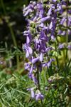 Salvia jurisicii photo